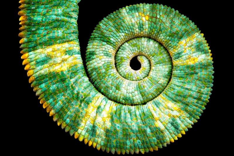 Nahe Ansicht eines schönen grünen bunten Chamaeleo calyptratus Endstücks, welches die mathematische Fibonacci-Spiralenkurve aufde stockfotografie