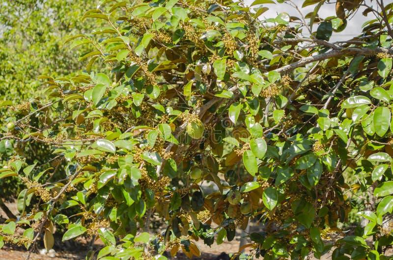 Nahe Blumenniederlassung des Stern-Apfelbaums lizenzfreies stockfoto