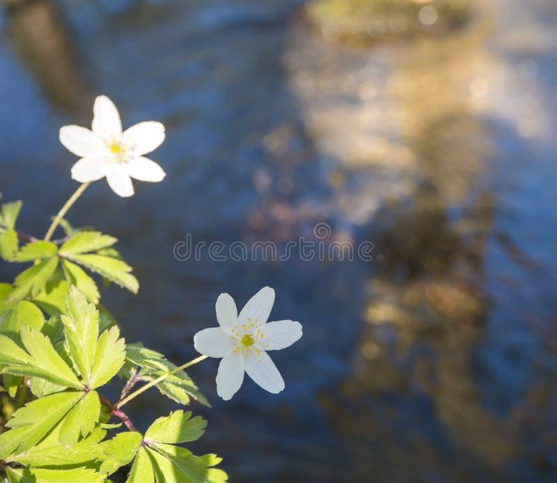 Nahe der schönen weißen Anemonenblume, Anemone nemorosa, selektiver Fokus auf die entfochtene Küste des Waldbaches lizenzfreie stockfotos