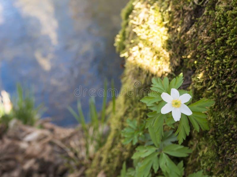 Nahe der schönen weißen Anemonenblume, Anemone nemorosa, selektiver Fokus auf die entfochtene Küste des Waldbaches stockfotografie