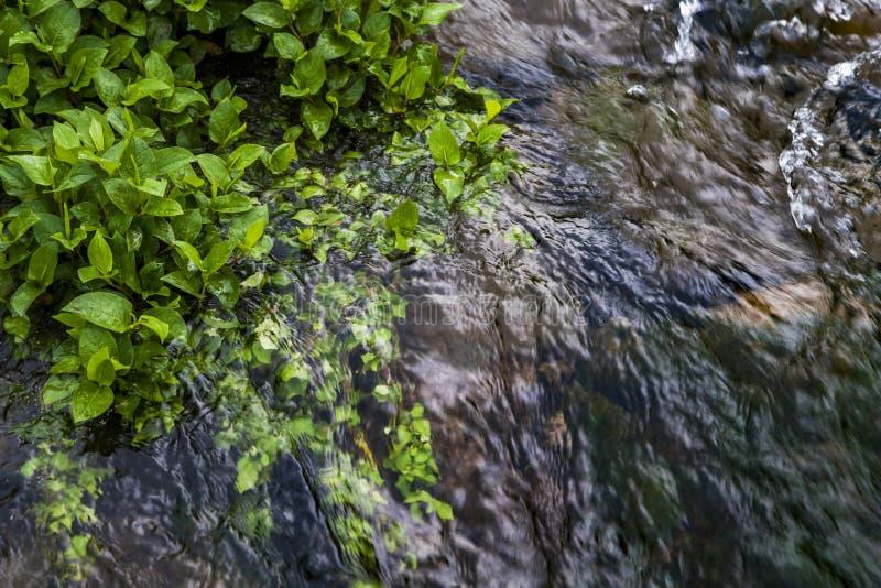 Nahe gelegener Fluss der gr?nen Wasserpflanze, Porzellan stockbild