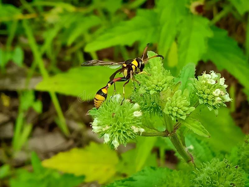 Nahe hohe Ansicht der gelben Biene auf dem grünen Urlaub schön gelbe und schwarze Farbbiene stockbild