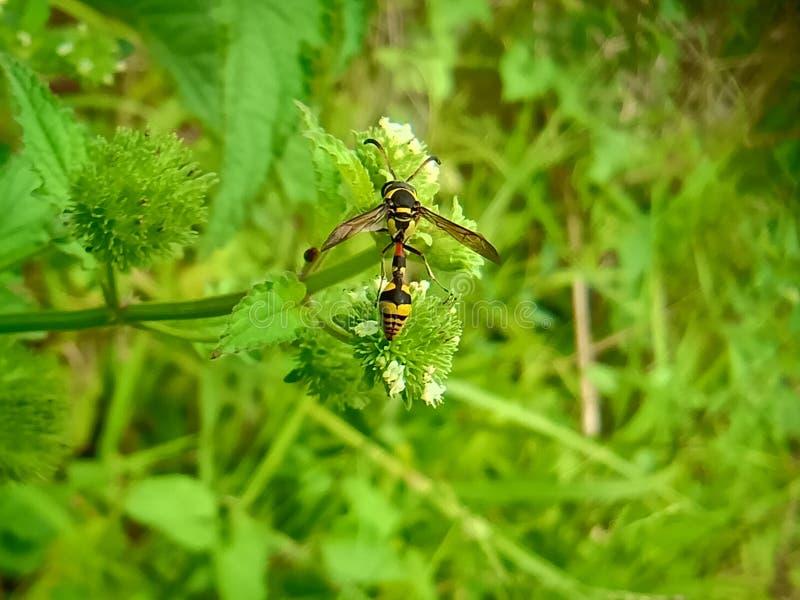 Nahe hohe Ansicht der gelben Biene auf dem grünen Urlaub schön gelbe und schwarze Farbbiene lizenzfreies stockbild