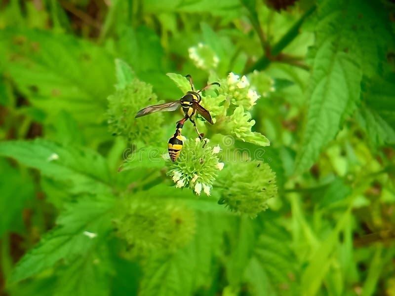 Nahe hohe Ansicht der gelben Biene auf dem grünen Urlaub schön gelbe und schwarze Farbbiene stockfotos