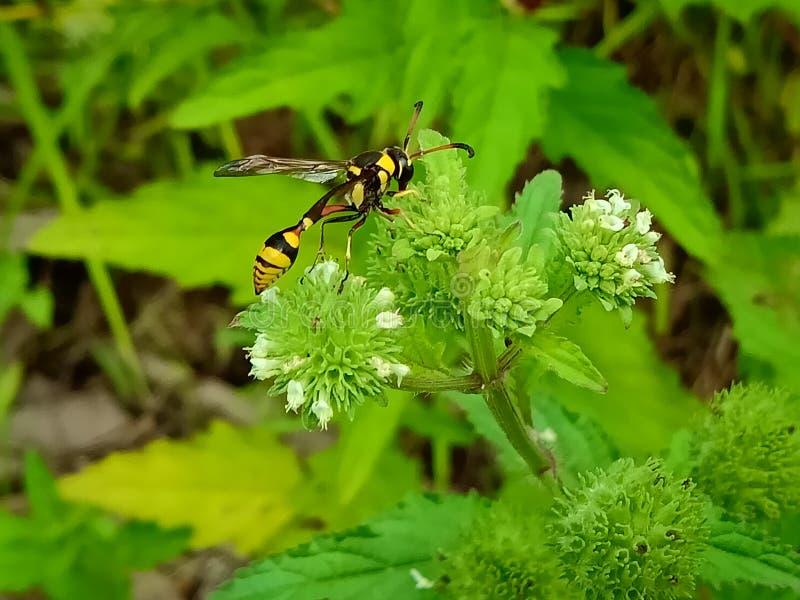 Nahe hohe Ansicht der gelben Biene auf dem grünen Urlaub schön gelbe und schwarze Farbbiene lizenzfreie stockbilder