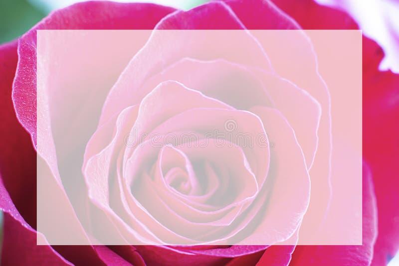 Nahe hohe Ansicht eines schönen hellen Rosas stieg mit abstrakten Kurven von Blumenblättern Makrobild mit weißem Kasten in der Mi stockbild