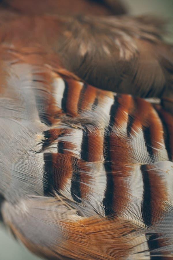 Nahe hohe Ansicht von schönen Federn Rebhuhnfedern als Beschaffenheit und Hintergrund für Entwurf stockbild