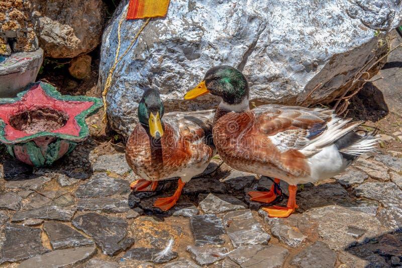 Nahe hohe Ansicht von zwei Enten stockfoto