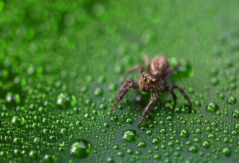 Nahe hohe Pulloverspinne auf grünem Wassertropfenhintergrund lizenzfreie stockfotos