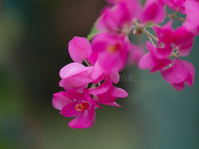 Nahe oben rosa Blume auf unscharfem Hintergrund Coral Vine, mexikanische Kriechpflanze, Kette der Liebe lizenzfreie stockbilder