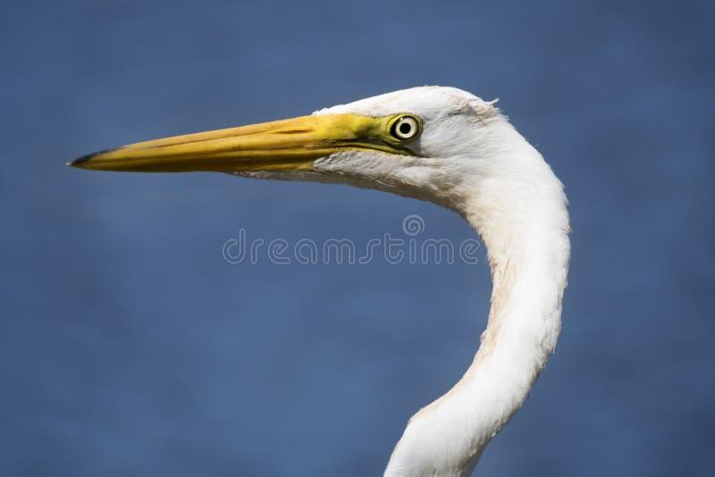 Nahe an weißem Great Egret-Profil auf blauem Grund lizenzfreie stockbilder