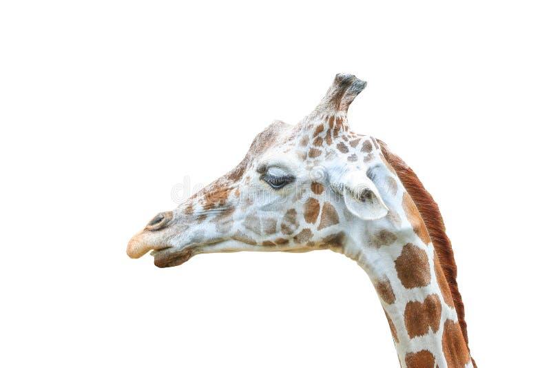 Naher hoher Giraffenkopf lokalisiert auf einem weißen Hintergrund mit Beschneidungspfad stockbild