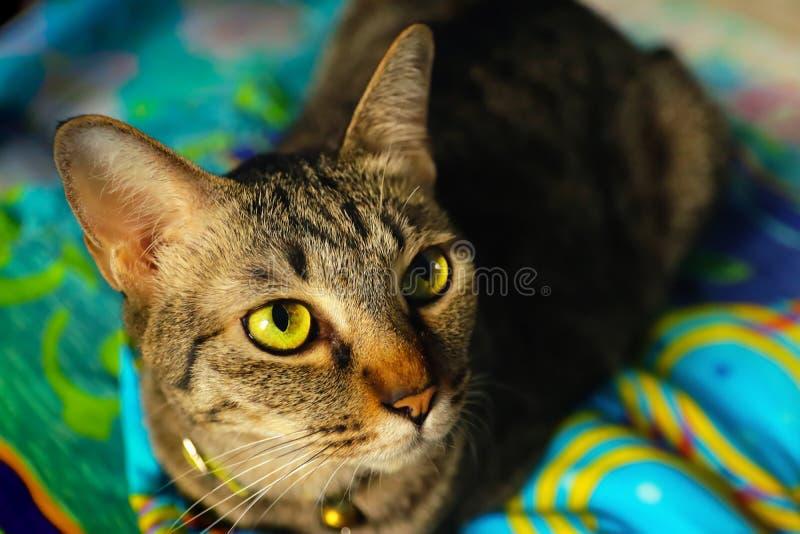Naher hoher Kopf Tabby Cat stockfoto