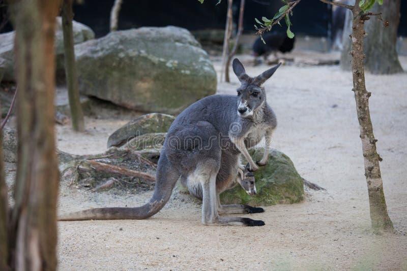 Naher hoher Porträt famale Känguru mit dem netten joey, das innerhalb des Beutels sich versteckt australien stockfotografie