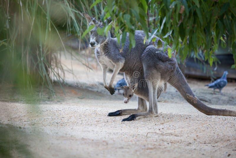 Naher hoher Porträt famale Känguru mit dem netten joey, das innerhalb des Beutels sich versteckt australien lizenzfreie stockfotos
