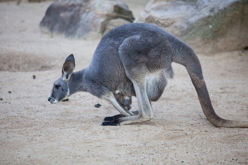 Naher hoher Portr?t famale K?nguru mit dem netten joey, das innerhalb des Beutels sich versteckt australien stockfoto