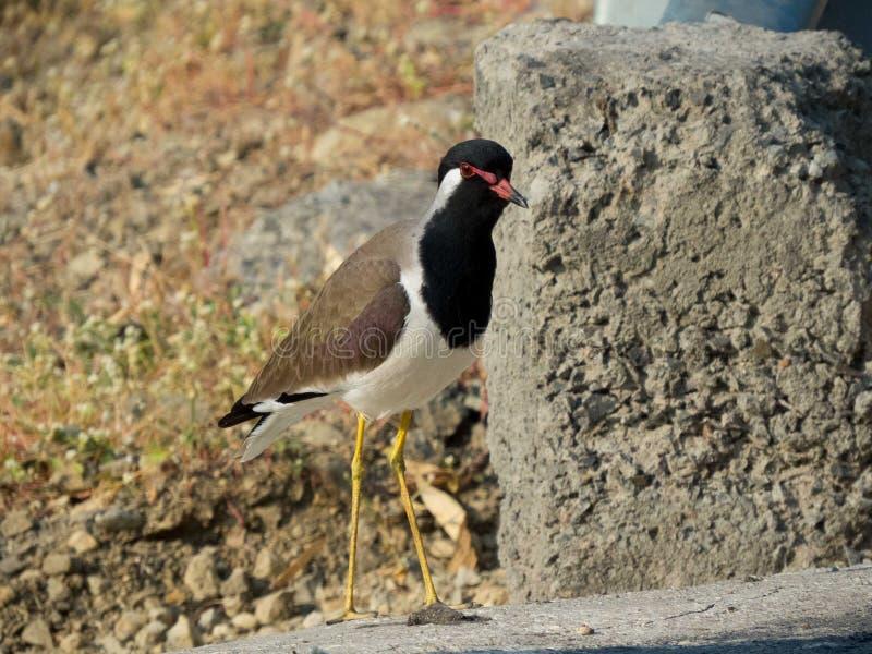 Naher hoher Rotlappenkiebitzvogel auf Beton lizenzfreie stockbilder