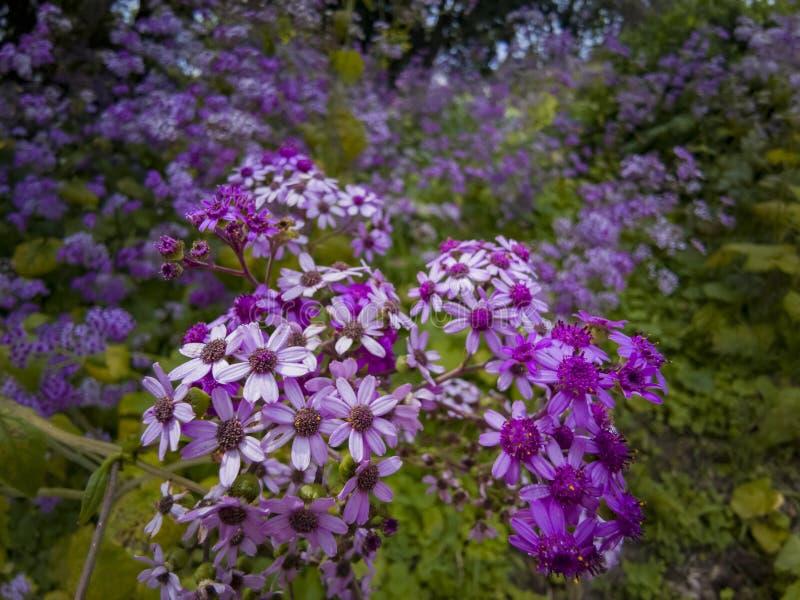 Naher hoher Schuss der purpurroten Blumenblüte in Huntington-Bibliothek stockfoto