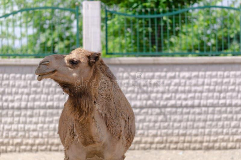 Naher hoher Schuss des Gesichtes des schönen Kamels im Zoo lizenzfreies stockbild