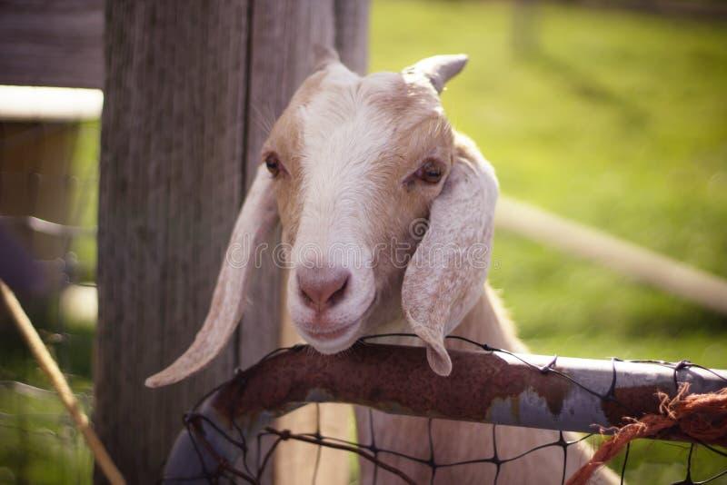 Naher hoher Schuss einer weißen und braunen Ziege mit den langen Ohren und den Hörnern mit dem Kopf über Bretterzaun stockfotografie