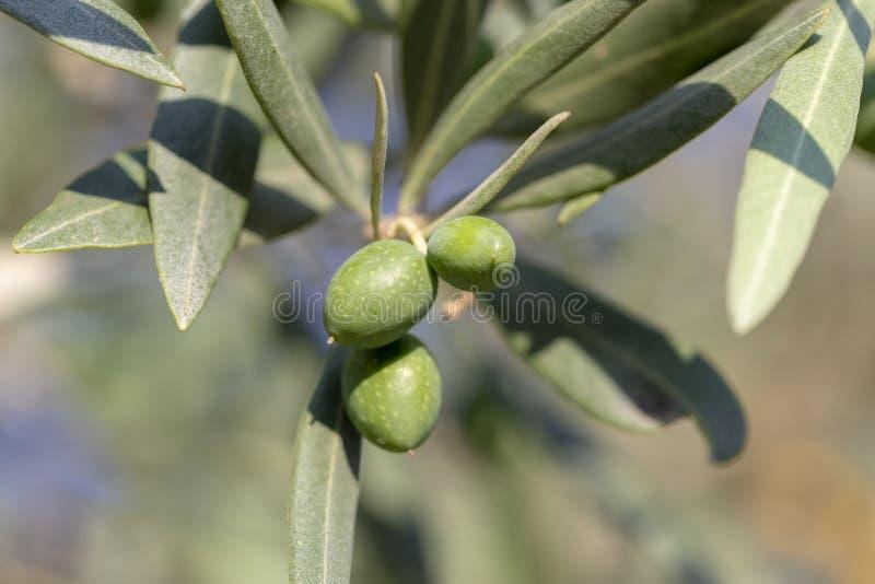 Naher hoher Schuss eines Olivenbaums mit neuen Oliven und grünen Blättern stockbilder