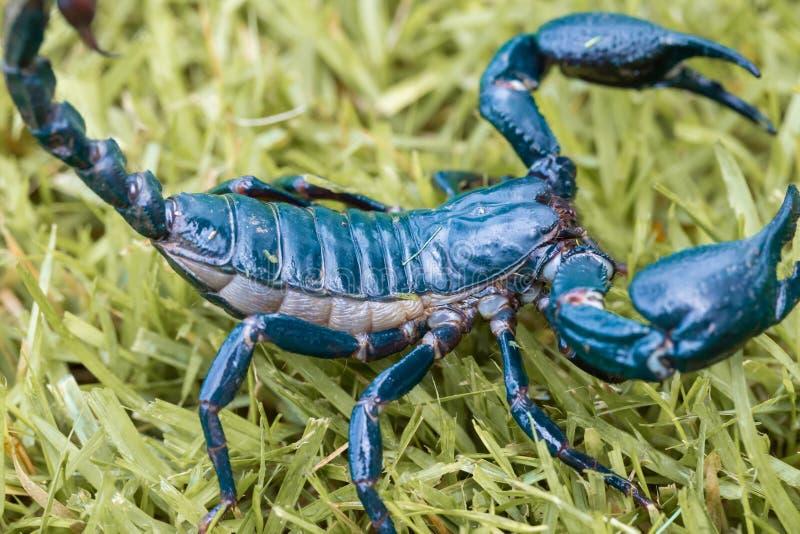 Naher hoher Skorpion auf dem Grasdetail stockfotos