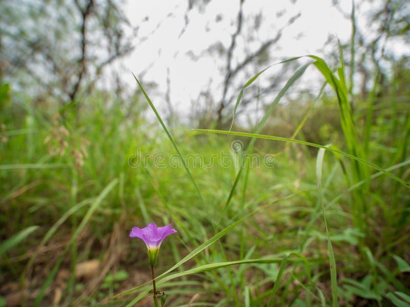 Naher oben hinterer Schuss der purpurroten Blume unter hohen Gräsern im Holz stockfoto