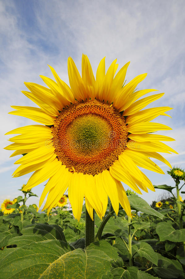 Nahes Auge auf Sonnenblume stockfoto