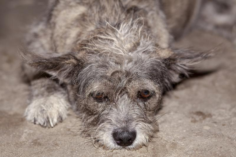 Nahes hohes Auge auf graue und braune Farbthailändischem Haupthund ist traurig stockfoto