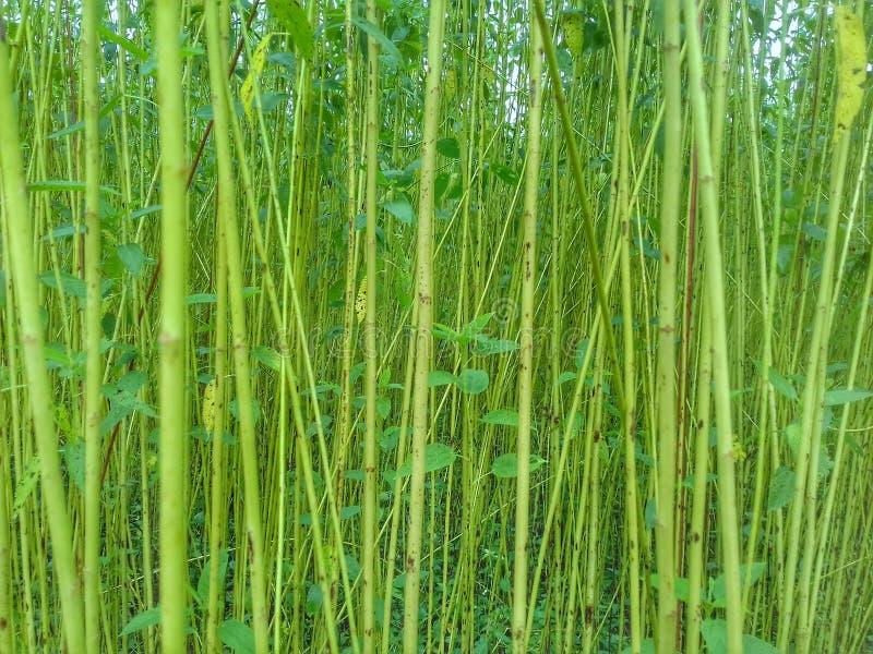 Nahes hohes Bild des grünen Jutefasergartens lizenzfreie stockbilder