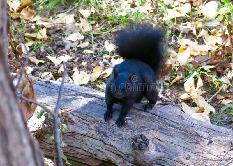 Nahes hohes Bild des netten schwarzen Eichhörnchens - Alberta, Kanada stockfoto