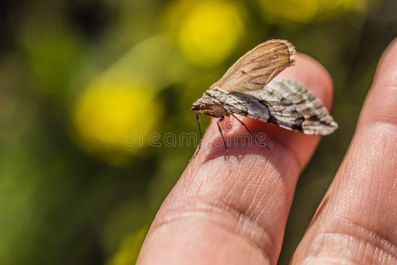 Nahes hohes Bild wenigen grauen und braunen Insekts lizenzfreies stockfoto