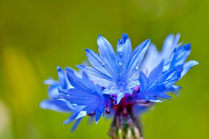 Nahes hohes der Kornblume (Centaurea cyanus) lizenzfreie stockbilder