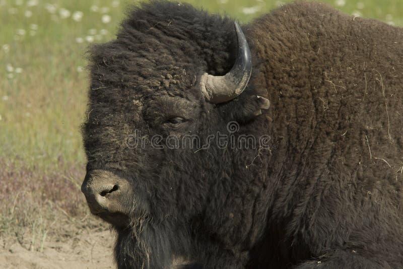 Nahes hohes des Büffels lizenzfreie stockbilder