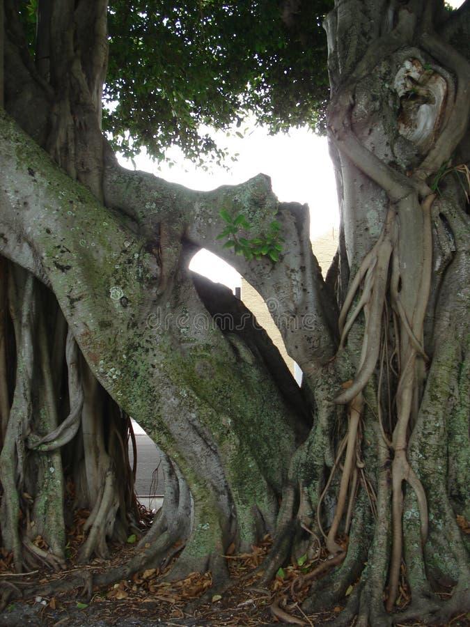Nahes hohes des Banyanbaumes lizenzfreie stockbilder