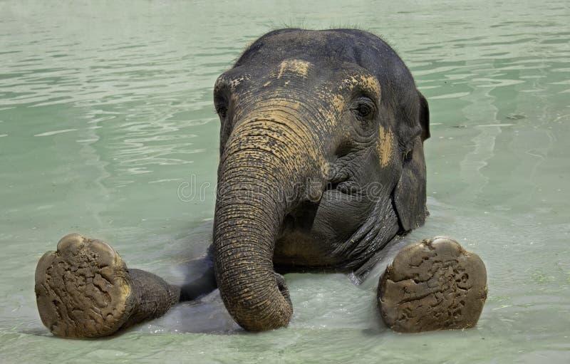 Nahes hohes des Elefanten stockbild