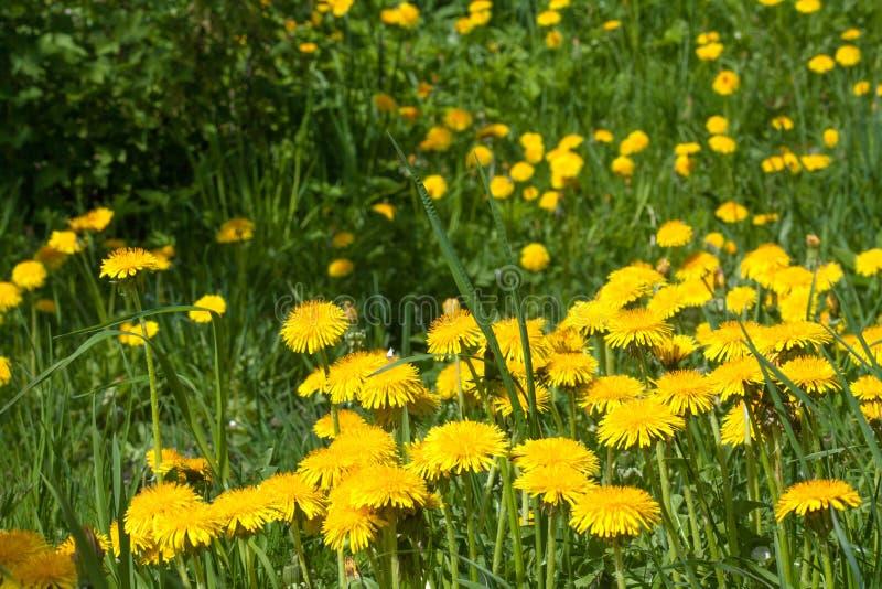 Nahes hohes des Gartens des Löwenzahns im Frühjahr lizenzfreies stockfoto