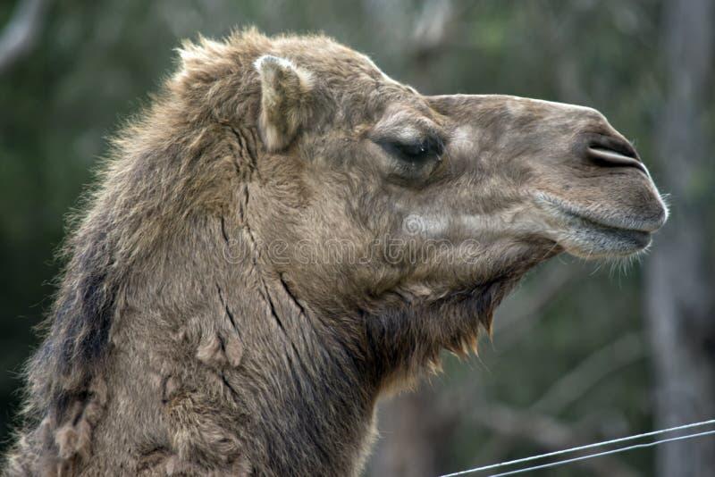 Nahes hohes des Kamels stockfoto