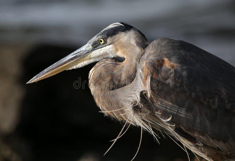 Nahes hohes des Pelikans lizenzfreies stockfoto