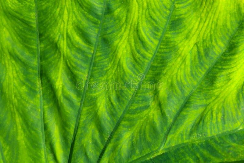 Nahes hohes Detail eines großen grünen Blattes lizenzfreie abbildung