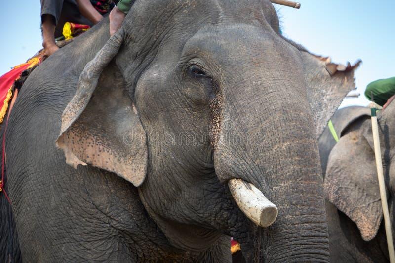 Nahes hohes Elfenbein und Kopf des Elefanten Asien-Elefant stockbilder