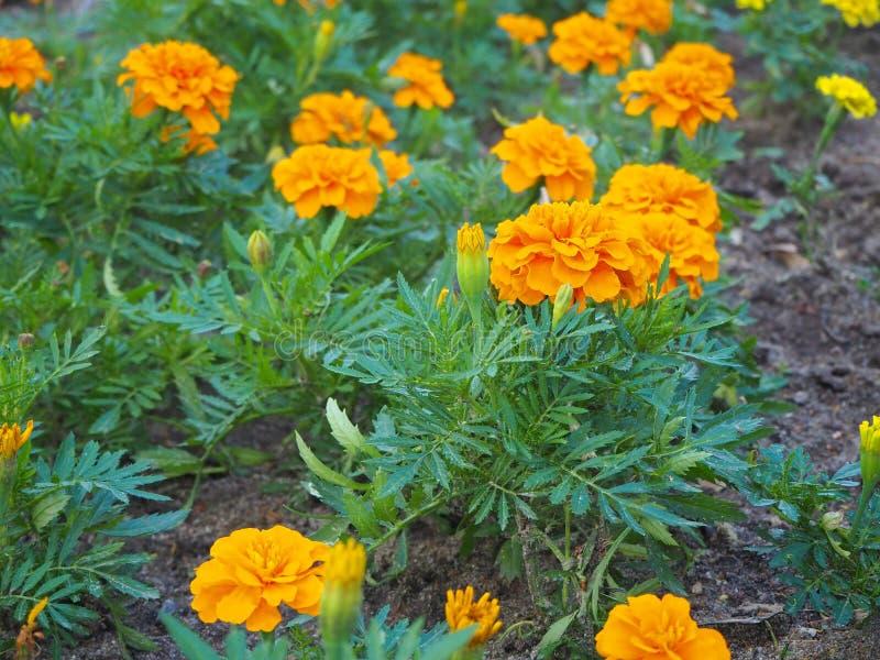 Nahes hohes Feld der schönen orange Ringelblume blüht Tagetes-erecta, mexikanische, aztekische oder afrikanische Ringelblume im G lizenzfreies stockbild