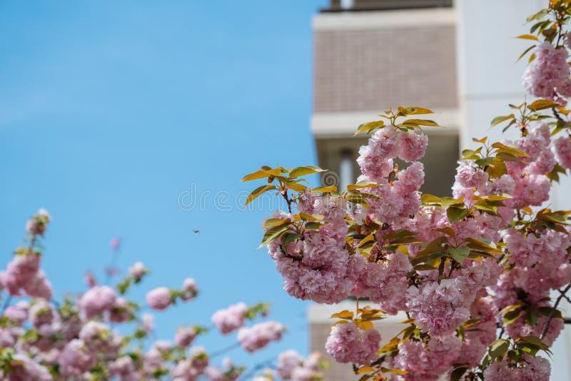 Nahes hohes Foto der Niederlassung einer Kirschim frühjahr Landschaft blauer Himmel am sonnigen Tag auf Hintergrund Wilde rosa Hi lizenzfreie stockbilder