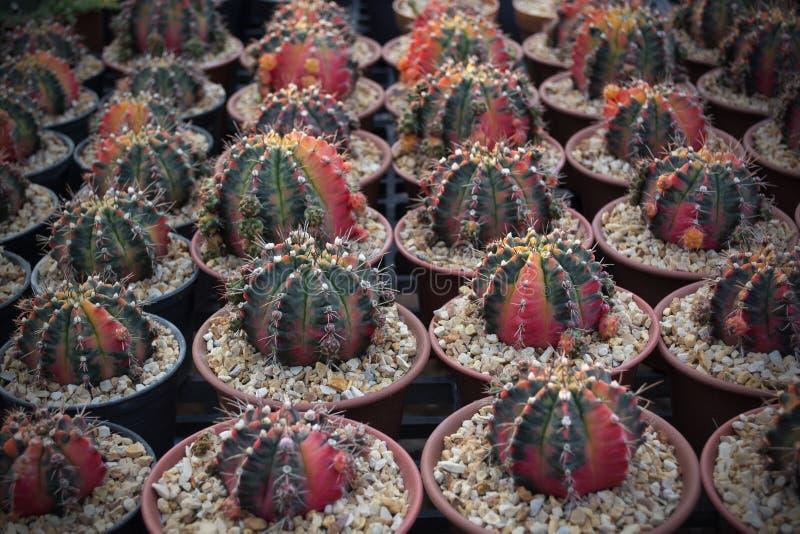 Nahes hohes Foto des Kaktus mit roter und grüner Farbe lizenzfreie stockfotografie