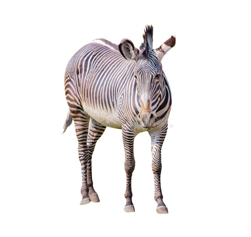 Nahes hohes Foto des Zebras des ambulanten Händlers lokalisiert auf dem weißen Hintergrund, Equus Quagga chapmani Es ist Unterart stockfoto