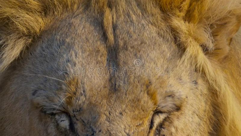 Nahes hohes Gesicht des wilden afrikanischen männlichen Löwes, Savanne, Afrika lizenzfreies stockbild