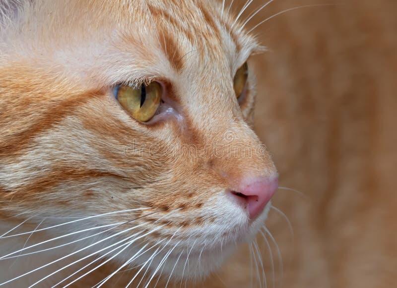 Nahes hohes Gesicht von orange Tabby Cat auf Hintergrund stockbild