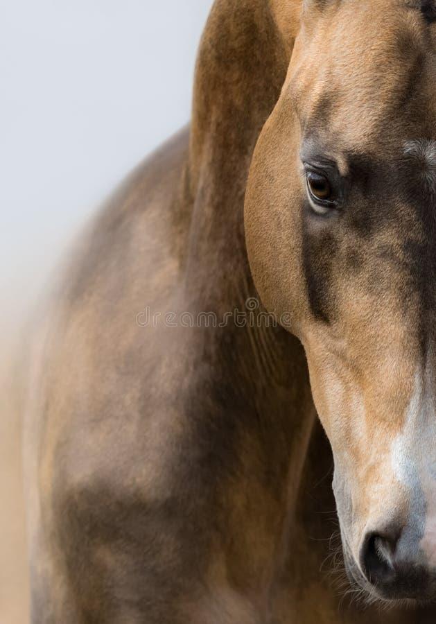 Nahes hohes Porträt des goldenen Wildlederpferds Akhalteke lizenzfreies stockbild