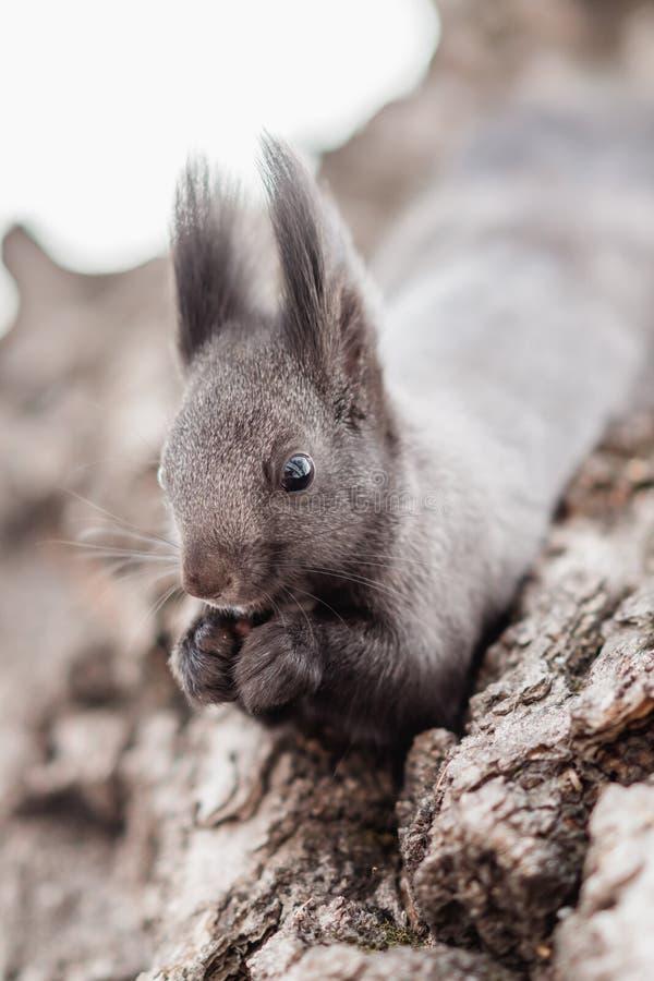 Nahes hohes Porträt des grauen Eichhörnchens mit einer Nuss lizenzfreies stockbild
