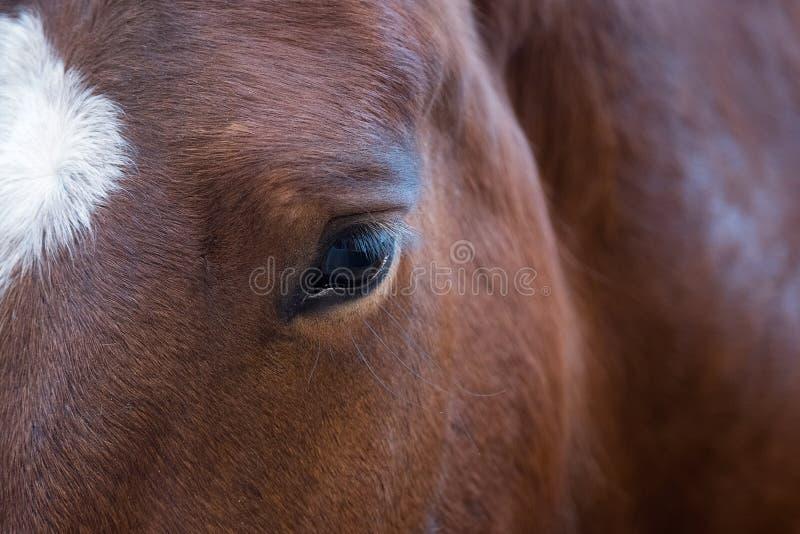 Nahes hohes Porträt des schönen wilden braunen Pferdeauges Tierdetails, Bauernhofhaustierkonzept stockbild